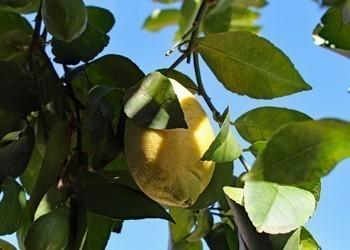 Citron citronnier