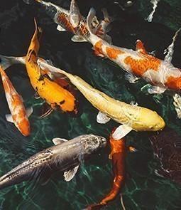 poisson koï
