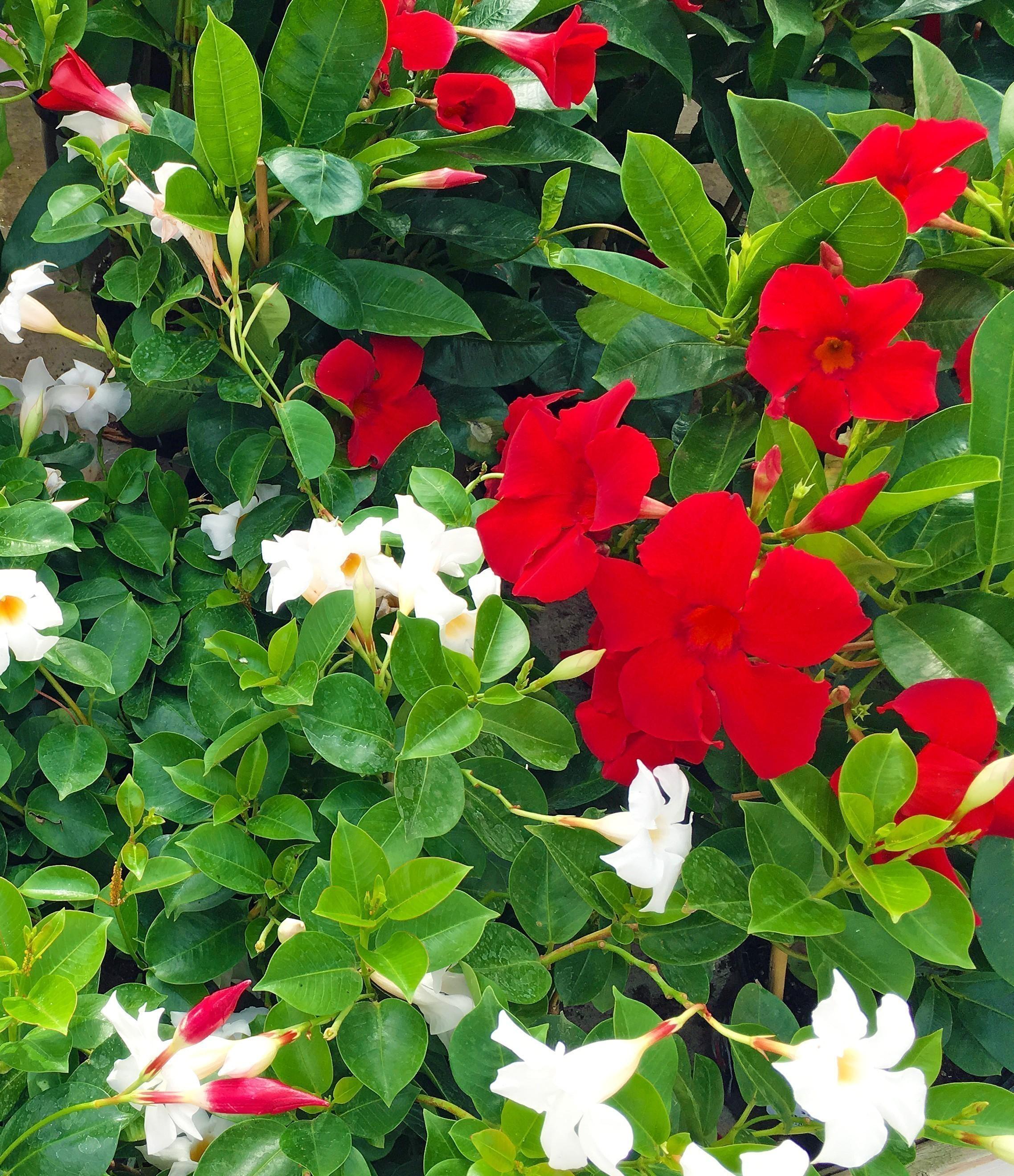 Dipladenia rouge et blanc