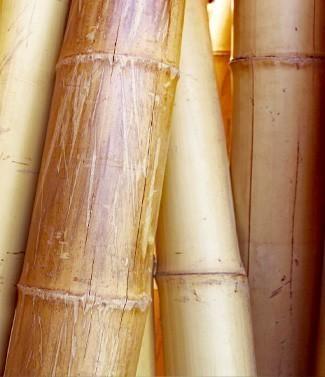 Bambou déco L 200 30-33 mm