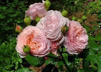 rosier david austin