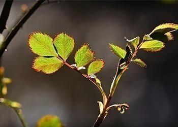 feuilles_rosiers