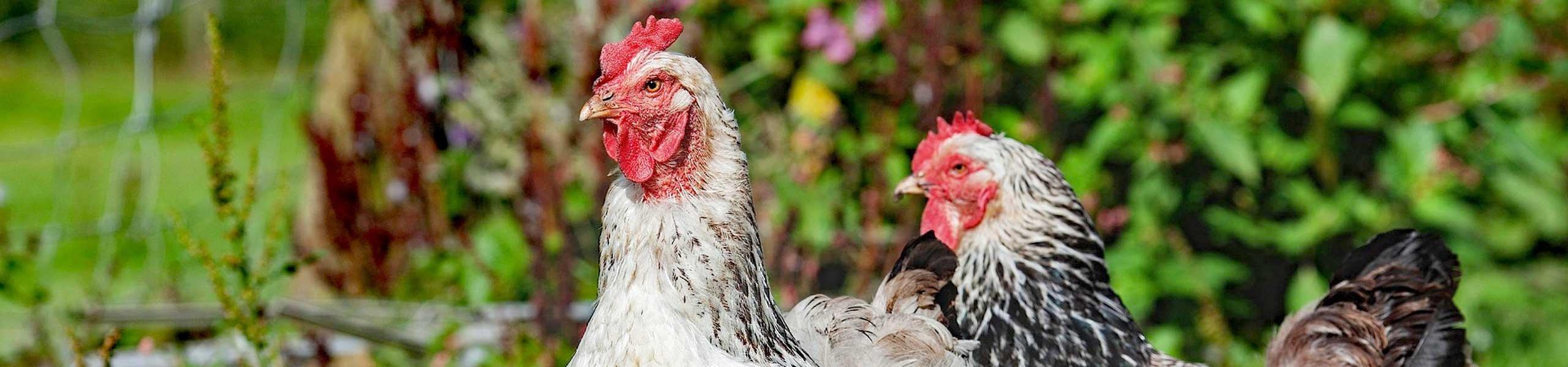 Aliments pour animaux de la basse-cour