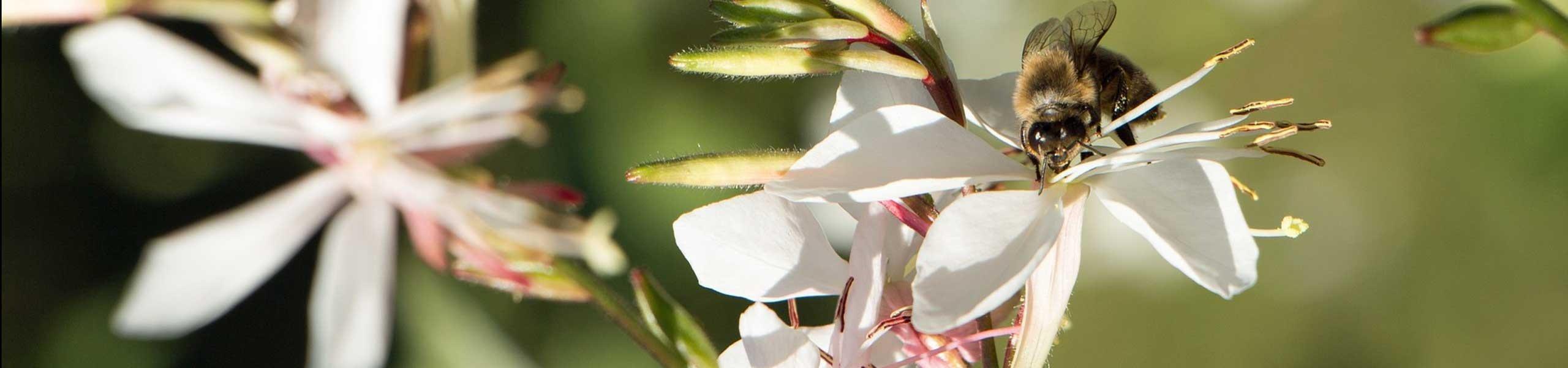 Plante vivace Gaura