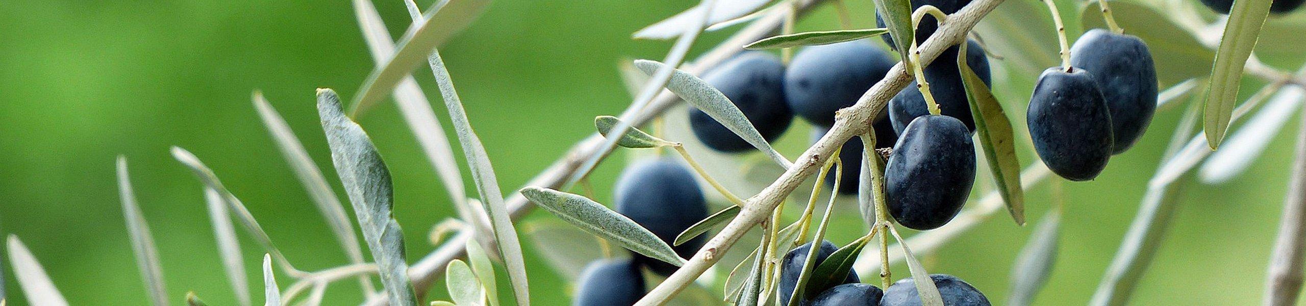 Rameau olivier avec fruits