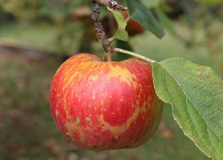 pomme arbres fruitiers dijon
