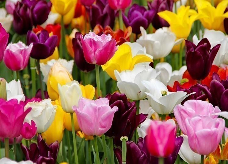 tulipes couleurs