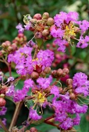 Lilas des Indes - Lagerstroemia