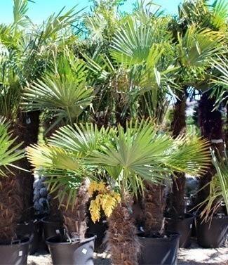 Palmiers trachycarpus fortunei