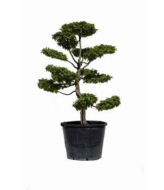 Carpinus betulus bonsaï