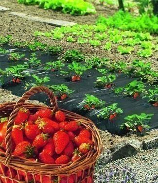 Film de paillage pour fraisiers L 20 x l 1.4