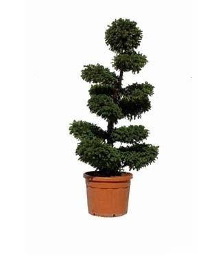 Taxus baccata bonsaï