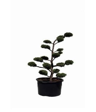 Juniperus virginiana 'Glauca' bonsaï