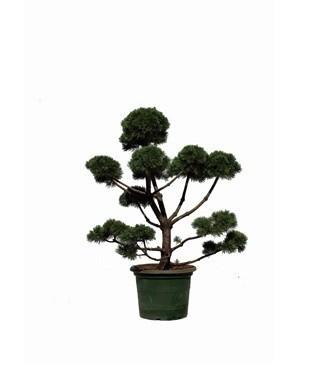 Pinus mungo 'Gnom' bonsaï