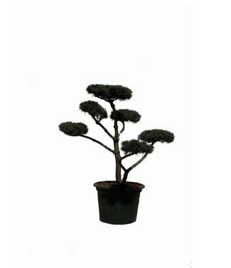 Pinus parviflora 'Negishi' bonsaï