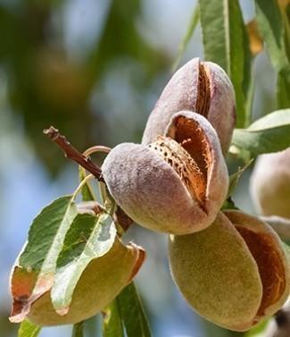 Amandier Prunus Amygdalus