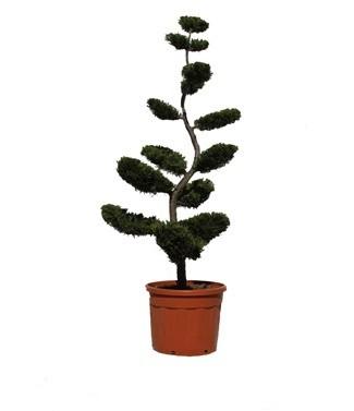 Cupressocyparis x leylandii 'Castlewellan Gold' bonsaï