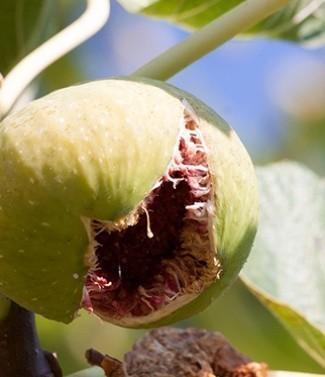 Figuier Ficus Carica