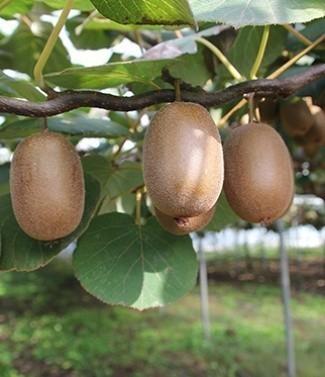 Kiwi actinidia