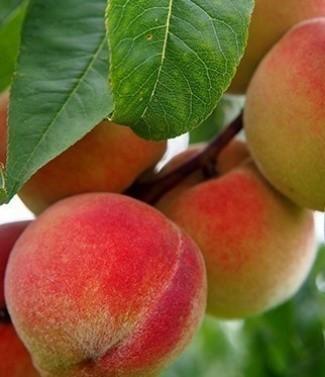 Pêcher prunus persica