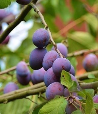 Prunier Prunus Domestica