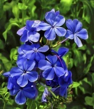 Fleurs vivaces phlox