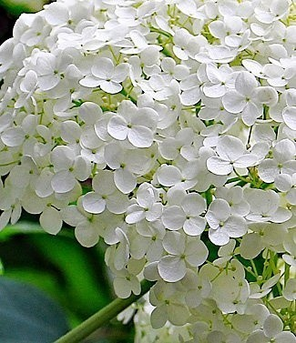 Hydrangea blanc
